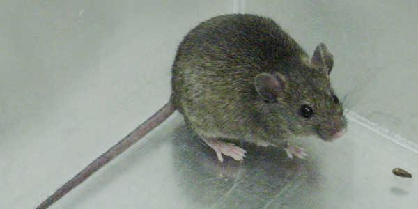 mysz domowa, szkodnik